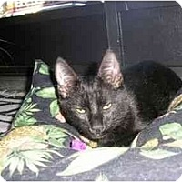 Adopt A Pet :: Midnite Momma - New Port Richey, FL
