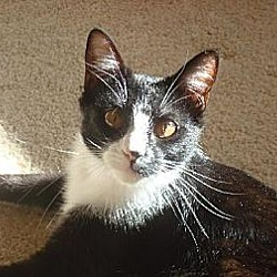 Photo 4 - Domestic Shorthair Cat for adoption in Albuquerque, New Mexico - Sara