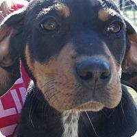 Adopt A Pet :: Dash, dashing and adventurous - Snohomish, WA
