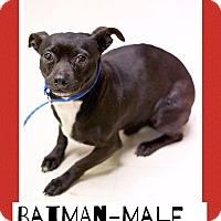 Adopt A Pet :: Batman - Washington, DC
