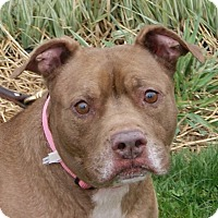 Pit Bull Terrier Mix Dog for adoption in Dundee, Michigan - Fila