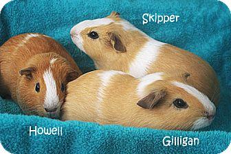 Guinea Pig for adoption in Santa Barbara, California - Gilligan, Skipper & Howell