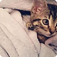Manx Cat for adoption in Fenton, Missouri - Princess Minky