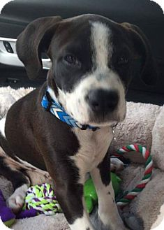 Bulldog Mix Puppy for adoption in Hockessin, Delaware - Frederick