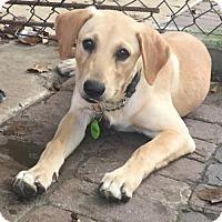 Adopt A Pet :: Murphy!  Happy Family Doggie! - Rowayton, CT