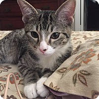 Domestic Shorthair Kitten for adoption in Knoxville, Tennessee - Arrow