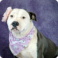Adopt A Pet :: Bella - West Springfield, MA