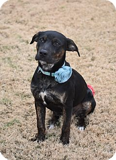 Rottweiler/Labrador Retriever Mix Puppy for adoption in Memphis, Tennessee - Luna
