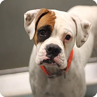 Adopt A Pet :: White Cherry - Austin, TX