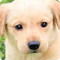 Adopt A Pet :: ELLIE(ADORABLE YELLOW LAB PUP! - Wakefield, RI