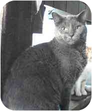 Russian Blue Cat for adoption in Milford, Ohio - Smokey