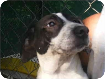 English Pointer Labrador Retriever Mix Puppy for adoption in    English Pointer Lab Mix Puppy