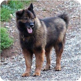 Adopted dog sacramento ca german shepherd dog chow chow mix