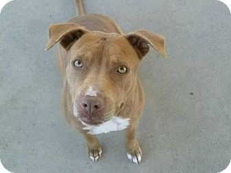 Pit Bull Terrier Mix Dog for adoption in San Diego, California - Daisy