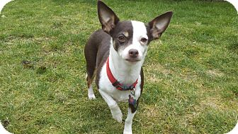 Chihuahua/Dachshund Mix Dog for adoption in Seattle, Washington - Squirt