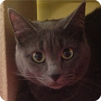 Russian Blue Cat for adoption in Weatherford, Texas - Kiki