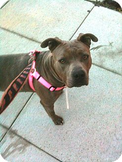 American Pit Bull Terrier Mix Dog for adoption in Santa Monica, California - Princess