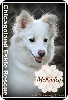 American Eskimo Dog Dog for adoption in Elmhurst, Illinois - McKinley
