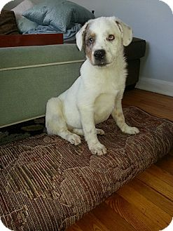 Australian Shepherd Mix Puppy for adoption in East Rockaway, New York - Bolt