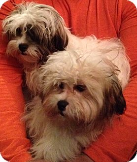 shih tzu rescue nyc gary adopted puppy new york ny shih tzu poodle 1247