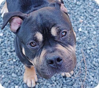 Bishop | Adopted Dog | Reisterstown, MD | Rottweiler ...