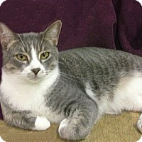 Domestic Shorthair Cat for adoption in Ridgecrest, California - Bogart