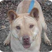 Shar Pei Mix Dog for adoption in Kingwood, Texas - Sheba