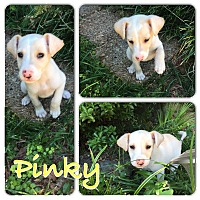 Adopt A Pet :: PINKY - CHICAGO, IL