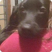 Adopt A Pet :: Lab Mix Pup - Lou Lou - Midlothian, VA