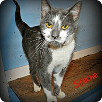 Adopt A Pet :: Stache - Lawrenceburg, TN