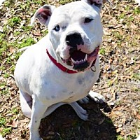 Adopt A Pet :: Crusher - Bradenton, FL