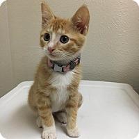 Adopt A Pet :: Blossom - Westminster, CO