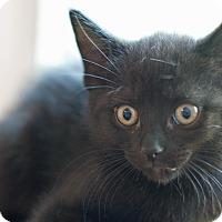 Adopt A Pet :: Hanna - Troy, MI