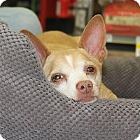 Adopt A Pet :: Socks - Los Angeles, CA