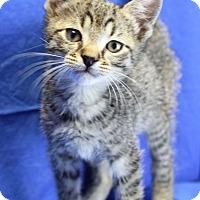 Domestic Shorthair Kitten for adoption in Winston-Salem, North Carolina - Ryan
