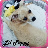Pug/Pomeranian Mix Puppy for adoption in Anaheim Hills, California - Lil Poppy