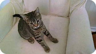 Domestic Shorthair Kitten for adoption in Davison, Michigan - Tigger