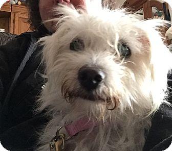 Maltese Mix Dog for adoption in Fremont, California - Millie