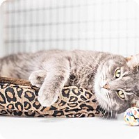 Domestic Shorthair Cat for adoption in Parma, Ohio - Stanley