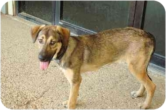 German Shepherd Dog/Alaskan Malamute Mix Puppy for adoption in Baton Rouge, Louisiana - Penelope