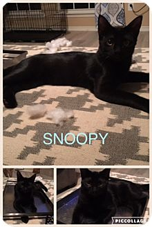 Domestic Shorthair Kitten for adoption in Garland, Texas - Snoopy