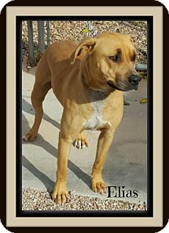American Staffordshire Terrier Mix Dog for adoption in Tombstone, Arizona - Elias