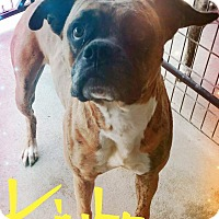 Boxer Dog for adoption in Fort Collins, Colorado - Kimbo (FORT COLLINS)