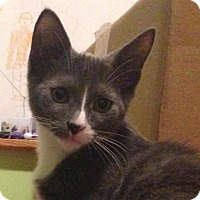 Domestic Shorthair Kitten for adoption in Westwood, New Jersey - Dimitri