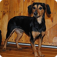Adopt A Pet :: Little Shorty - Parsons, KS