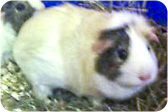 Guinea Pig for adoption in Fullerton, California - Pudding