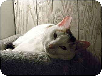 Calico Cat for adoption in Bartlett, Illinois - Lady Di