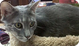Domestic Shorthair Cat for adoption in Naples, Florida - Lilly