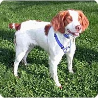 Brittany Dog for adoption in Buffalo, New York - Brittany-Courtesy Listing