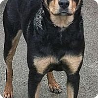 Adopt A Pet :: Rottie/Shepard X - Aloha, OR